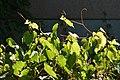 Riverbank Grape (Vitis riparia) - Kitchener, Ontario.jpg