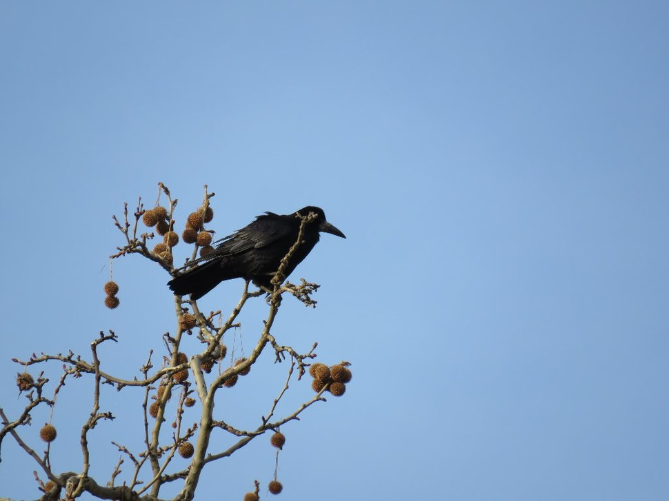 Rook in the grass 09