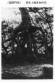 Root stilted black pine at Naruto.png