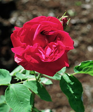 Phi Kappa Psi - Jacqueminot Rose