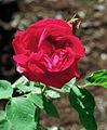 Rosa 'General Jacqueminot'.jpg