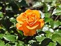 Rosa 'Westzeit' (d.j.b) 02.jpg