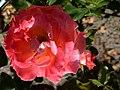 "Rosa ""Floricel"". 02.jpg"