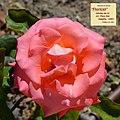 "Rosa ""Floricel"". 03.jpg"