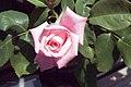 Rosa Gene Boerner 1zz.jpg