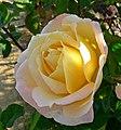 Rosa Grandmere Jenny 2.jpg
