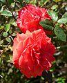 Rosa Millie Walters 1.jpg