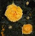 Rosa foetida Persian Yellow 2016-05-31 2297.jpg