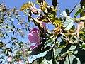 Rosa glauca inflorescence (26).jpg
