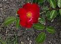 Rosarium Baden Rosa 'Alcantara' Noack 1998 01.jpg