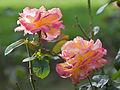 Rosas en Bastavales - Brión - Galiza.jpg