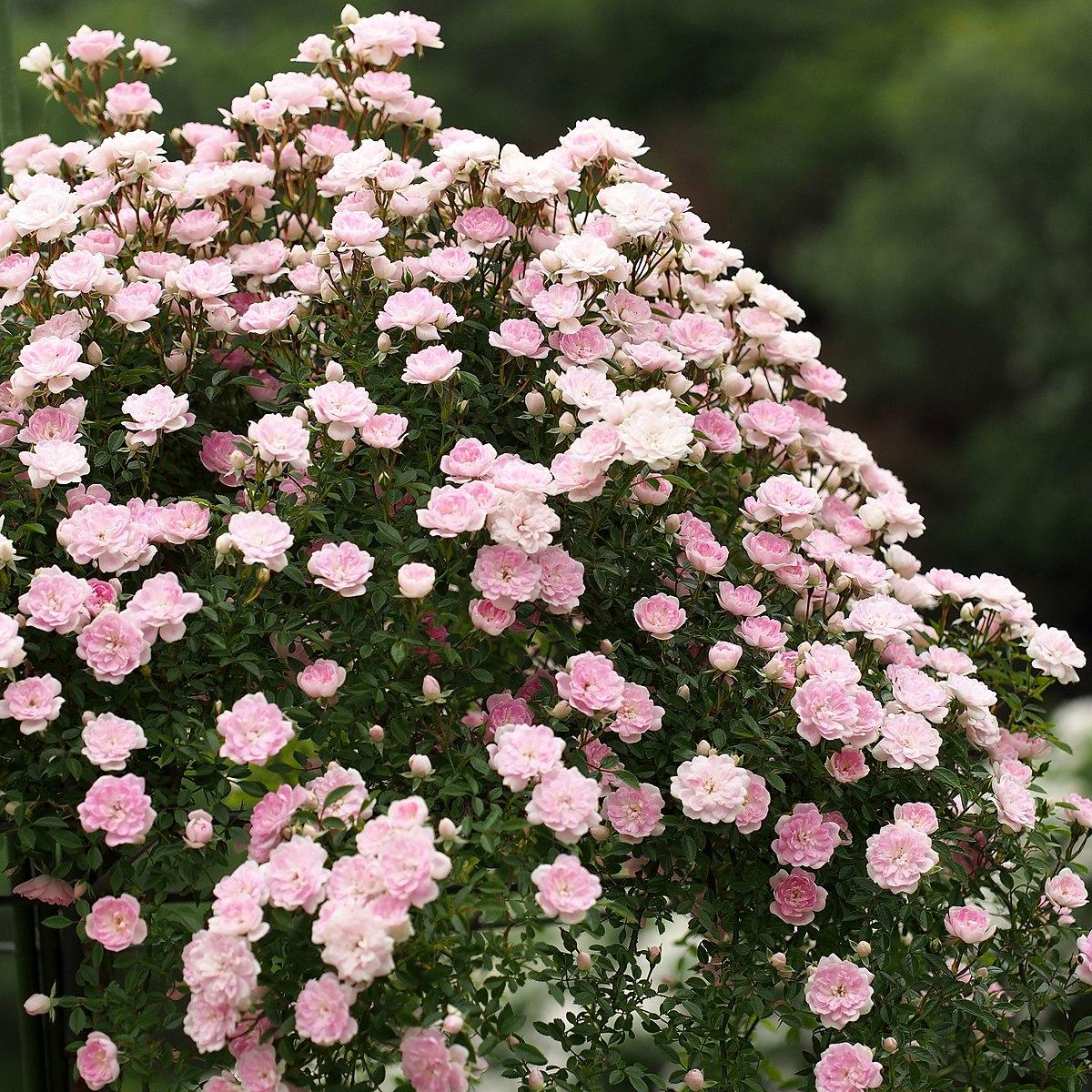 rosa cultivars u wikimedia commons. Black Bedroom Furniture Sets. Home Design Ideas