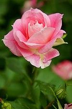 Rose Carefree Wonder ケアフリー ワンダー (5672393992).jpg