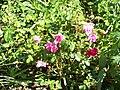 Rose im Botanischen Garten Erlangen (7).JPG