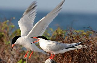 Roseate tern A bird in the family Laridae