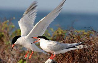 Hicks Island - Image: Roseate terns Palometas