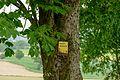 Rosskastanienbaum 2290.jpg