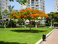 Royal Poinciana in Ramat Gan.jpg