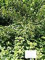 Rubus parvifolius - Botanical Garden in Kaisaniemi, Helsinki - DSC03447.JPG
