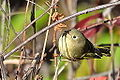 Ruby Crowned Kinglet (8128419997).jpg