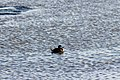 Ruddy duck (26149980471).jpg