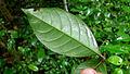Ruellia affinis (Nees) Lindau (15539163648).jpg