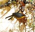 Rufous-capped Brush Finch.jpg