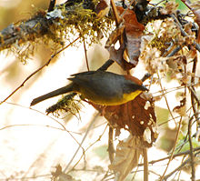 Rufous-capped Brush Finch.jpg