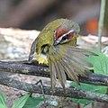 Rufous-capped warbler (40045535564).jpg