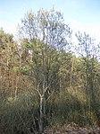 Ruhland, Verbindungsstraße von der Ortrander Str. über die Autobahn zum Forsthaus, Salweide blühend, Frühling, 01.jpg