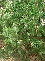 Ruscus aculeatus4.jpg