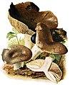 Russula-nigricans-gramberg-1913-pilzederheimatei00gram 0069.jpg