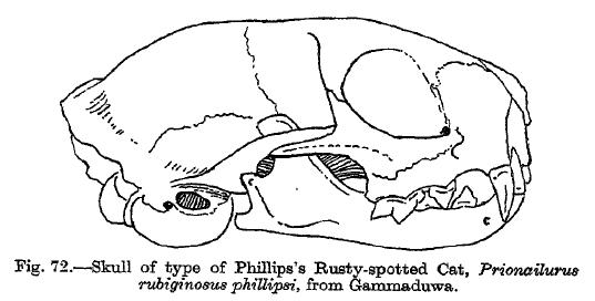 Rustyspottedcatskull