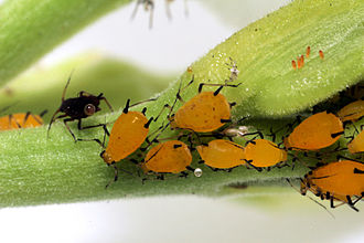 Group size measures - Image: Sa aphid colony highres