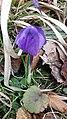 Saffron - Crocus vernus 53.jpg