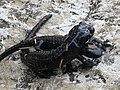 Salamandra atra accouplement MHNT.jpg