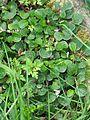 Salix reticulata - Flickr - peganum.jpg