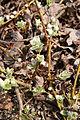 Salix subreniformis 02.jpg