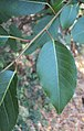 Salix tetrasperma 05.JPG