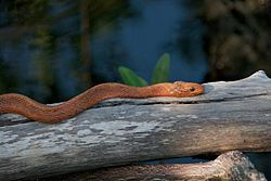 Salt Marsh Water Snake.jpg