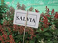Salvia from lalbagh 1853.JPG