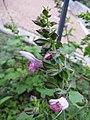 Salvia glabrescens1.JPG