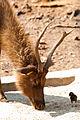 Sambar in Captivity.jpg