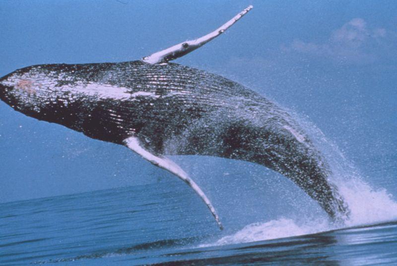 ballena macho
