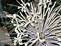 Sansevieria kirkii var. pulchra2157832131.jpg