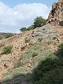 Santiago-Monte Graciosa-Sarcostemma daltonii (2).jpg