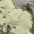 Saxicolous lichens - Flickr - pellaea (2).jpg