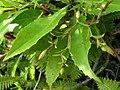 Scaevola chamissoniana (5210125826).jpg