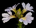 Scaevola nitida - Flickr - Kevin Thiele (1).jpg