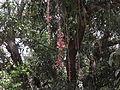 Scarlet clock vine 01.JPG